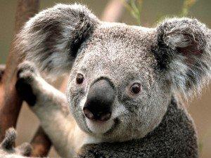 delice dans delice koala-300x225